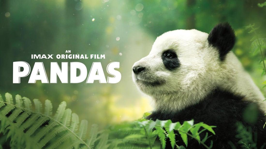 Baby panda in nature